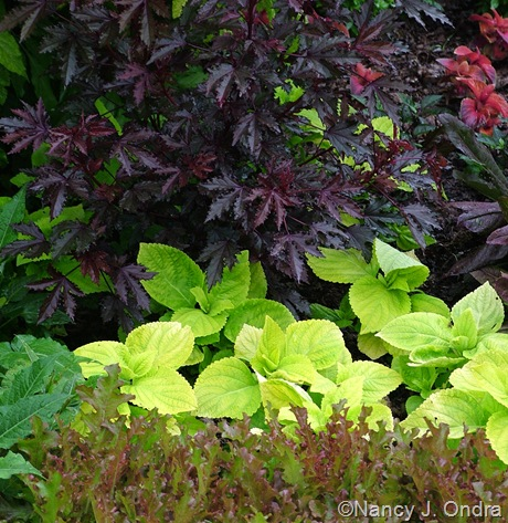 Hibiscus 'Maple Sugar' with Coleus 'Giant Exhibition Limelight' and Lettuce 'Mascara'