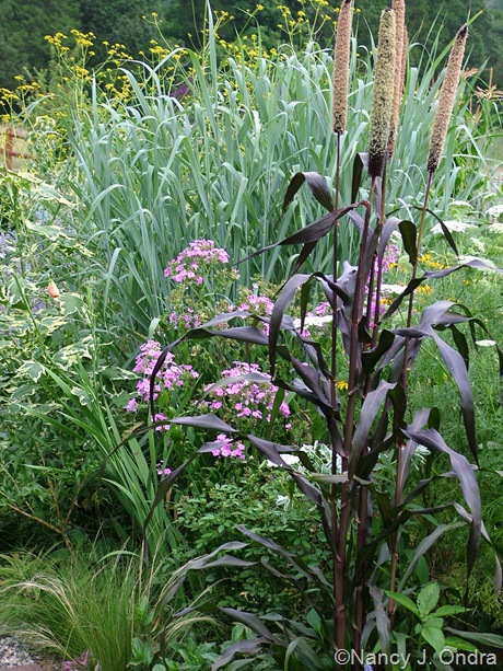 Pennisetum glaucum 'Purple Majesty' with Panicum virgatum 'Dallas Blues' and phlox
