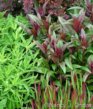 Penstemon digitalis 'Husker Red' with Imperata cylindrica 'Rubra' and Trifolium rubens