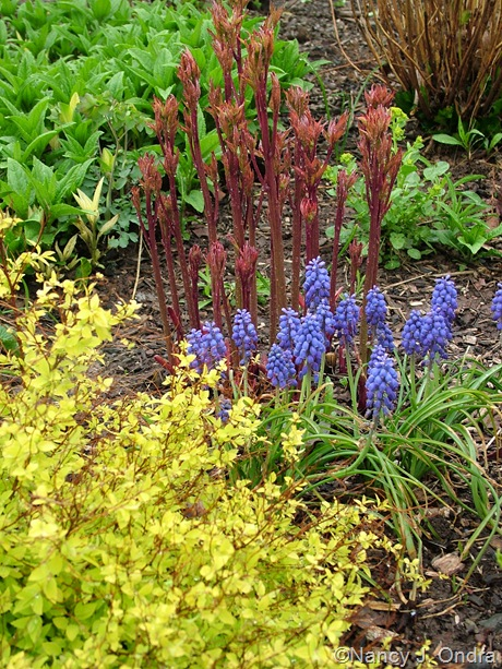 Paeonia shoots with Muscari and Spiraea 'Gold Mound'