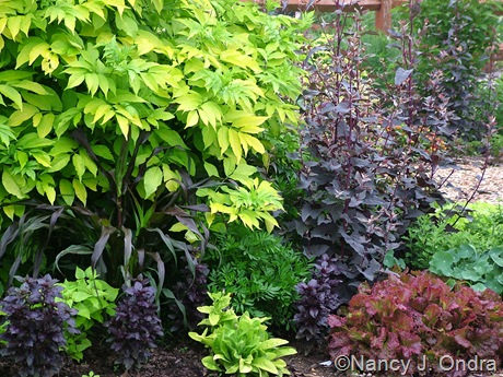 Sambucus nigra 'Aurea' and Pennisetum glaucum 'Purple Majesty' with Mirabilis jalapa 'Limelight' and Basil 'Osmin'