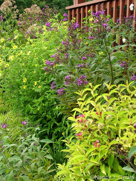 Weigela florida Briant Rubidor ('Olympiade') with Clematis seedling and Vernonia