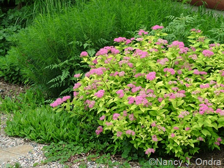 Spiraea Dakota Goldcharm ('Mertyann') with Amsonia hubrichtii