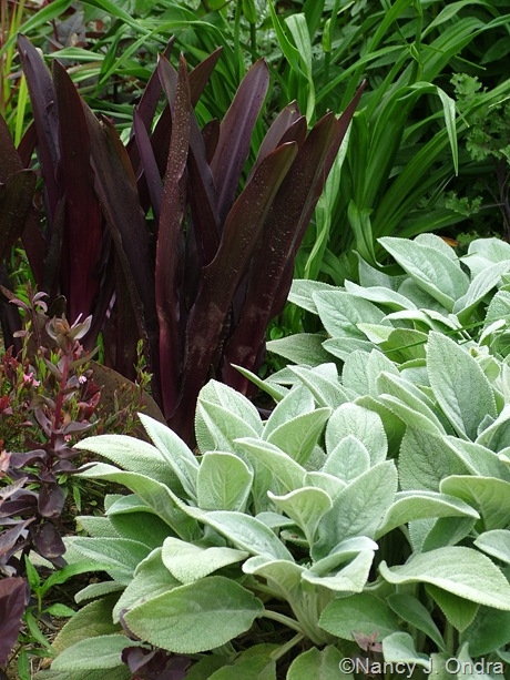 Stachys byzantina 'Big Ears' with Eucomis comosa 'Oakhurst'
