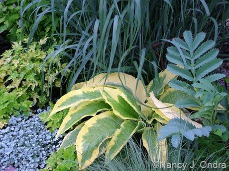 Symphytum x uplandicum 'Axminster Gold' with Melianthus major,  Panicum virgatum 'Dallas Blues', Heuchera 'Lime Rickey', Dichondra argentea 'Silver Falls', and Abutilon 'Yellow Form'