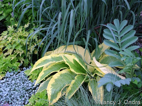 Symphytum x uplandicum 'Axminster Gold' with Melianthus major,  Panicum virgatum 'Dallas Blues', Heuchera 'Lime Rickey', Dichondra argentea 'Silver Falls', and Abutilon 'Yellow Form'