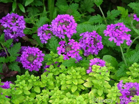 Verbena 'Homestead Purple' with Origanum vulgare 'Aureum'