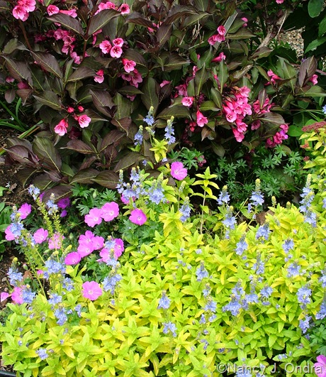 Veronica prostrata 'Trehane' with Geranium sanguineum 'New Hampshire Purple' and Weigela