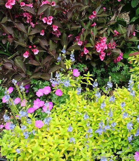 Veronica prostrata 'Trehane' with Geranium sanguineum 'New Hampshire Purple' and Weigela