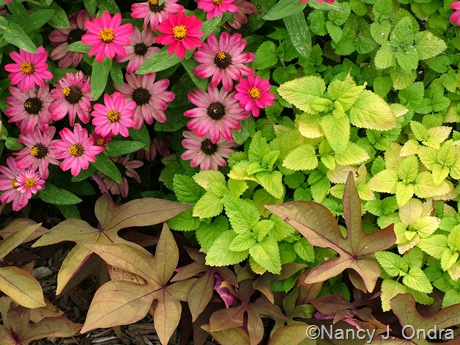 Melissa officinalis 'All Gold' with Zinnia 'Profusion Cherry' and Ipomoea batatas 'Sweet Caroline Bronze'