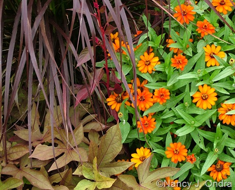 Zinnia 'Profusion Orange' with Ipomoea batatas 'Sweet Caroline Bronze' and Pennisetum setaceum 'Rubrum'