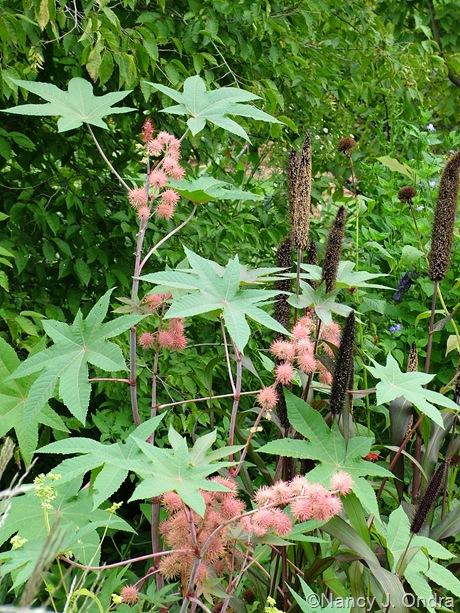 Ricinus communis 'Carmencita Pink' with Pennisetum glaucum 'Jester'