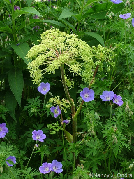 Angelica archangelica 'Corinne Tremaine' with Geranium 'Brookside'