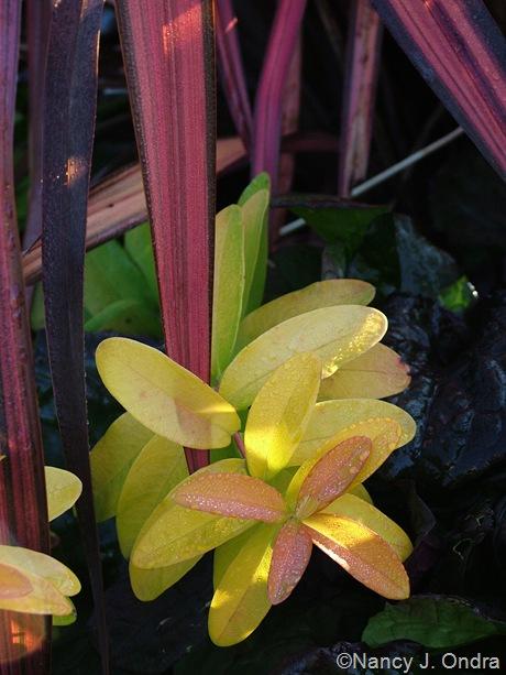 Phormium ('Pink Stripe'?) with Hypericum 'Brigadoon'