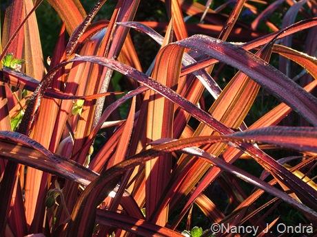 Phormium ('Pink Stripe'?)