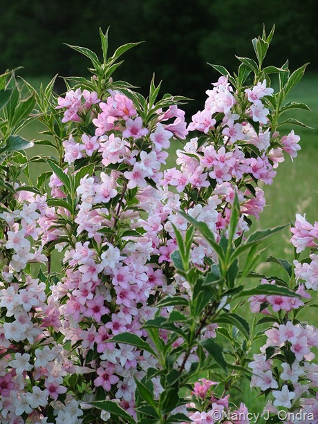Weigela florida 'Variegated Mystery'