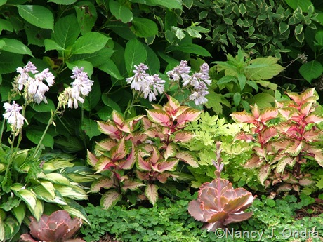 Solenostemon scutellarioides (coleus) 'Amora' with Hosta 'June' and Echeveria 'The Rose'