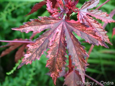 Hibiscus acetosella 'Haight Ashbury'