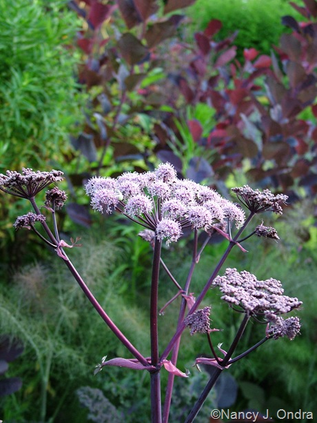 Angelica 'Ebony'