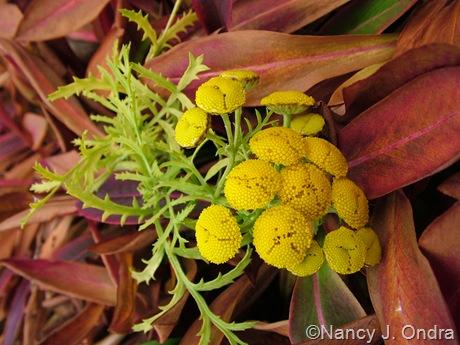 Tanacetum vulgare 'Isla Gold' against Persicaria affinis