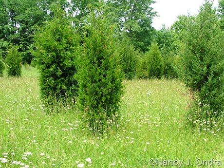 Juniperus virginiana in meadow at Hayefield