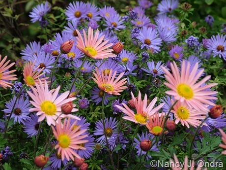 Chrysanthemum 'Sheffield Pink' with Symphyotrichum oblongifolium