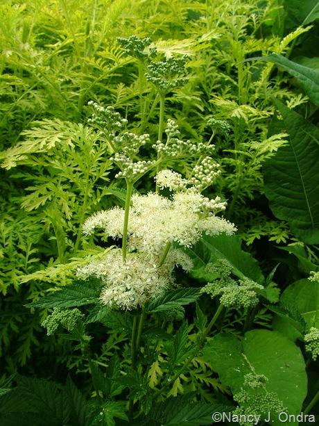 Tanacetum vulgare 'Isla Gold' behind Filipendula ulmaria 'Variegata'