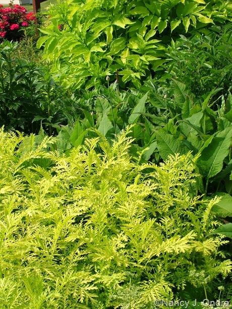 Tanacetum vulgare 'Isla Gold' with Allium sphaerocephalon, Persicaria amplexicaulis 'Taurus', and Sambucus nigra 'Aurea'