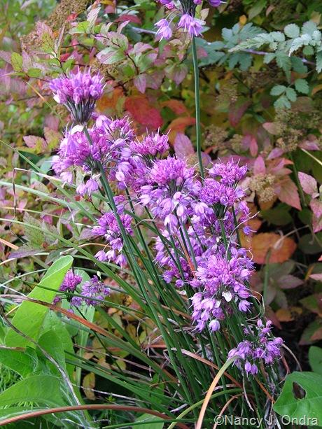 Allium thunbergii 'Ozawa'