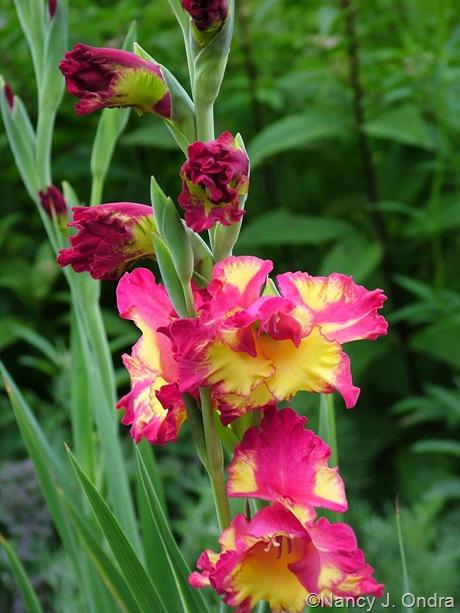Gladiolus 'Far West'