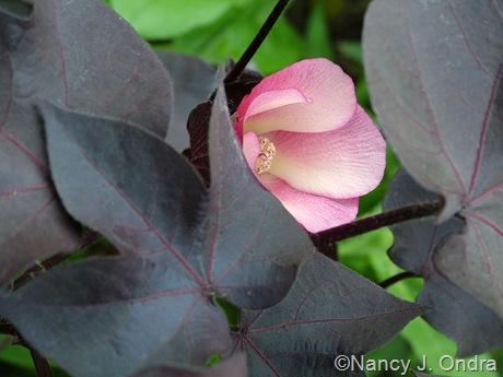 Gossypium herbaceum 'Nigrum'