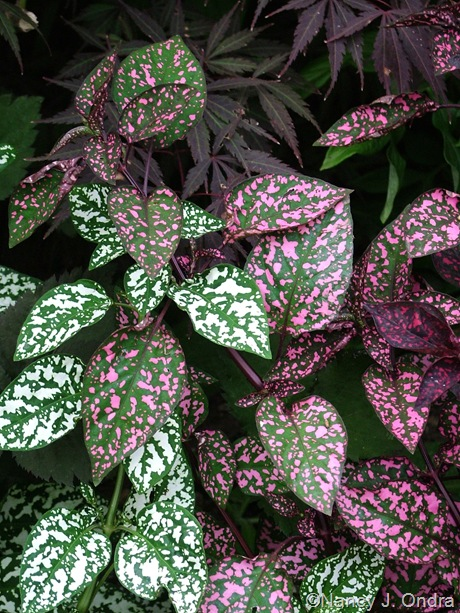 Hypoestes phyllostachya 'Splash Select Pink' and 'Splash Select White'