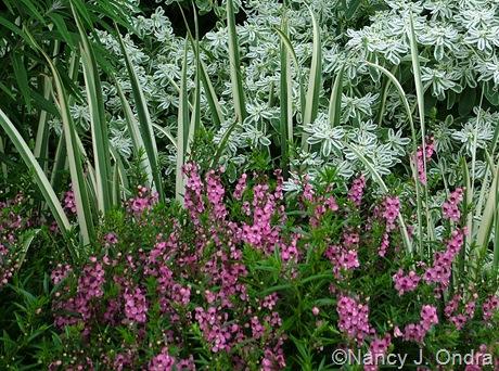 Angelonia 'Angelmist Pink' with Iris ensata/kaempferi 'Variegata' and Euphorbia marginata