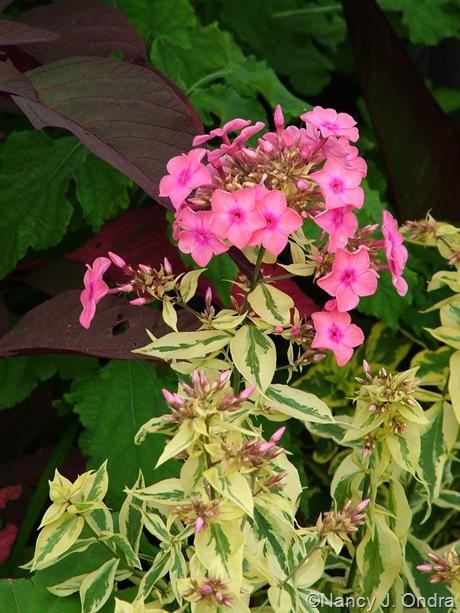 Phlox paniculata 'Becky Towe'