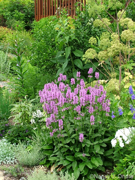 Stachys officinalis 'Rosea' with Angelica archangelica