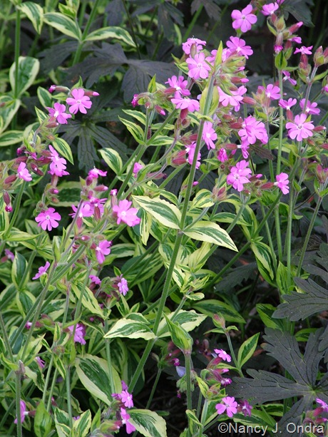 Silene dioica 'Valley High'