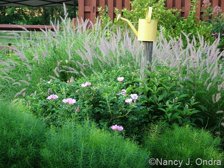 Amsonia hubrichtii with Rosa 'Frau Dagmar' and Pennisetum orientale 'Karley Rose' [July 31, 2008]
