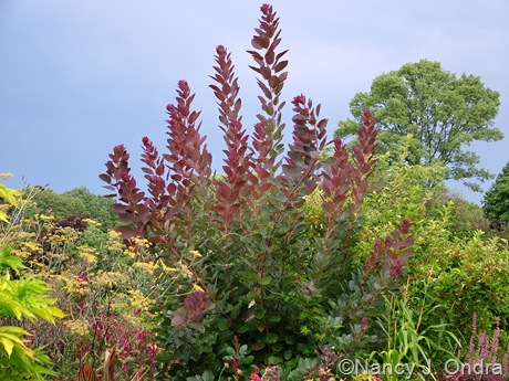 Cotinus 'Grace' [August 10 2008]