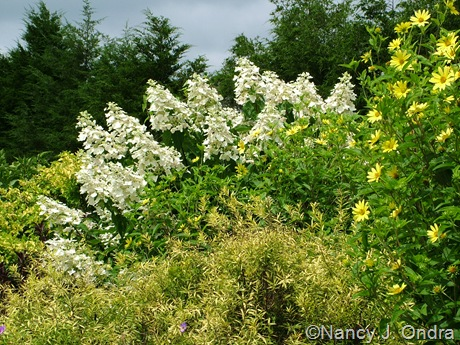 Hydrangea paniculata 'Unique' with Helianthus 'Lemon Queen' and Spiraea thunbergii Mellow Yellow ('Ogon') [August 14, 2009]
