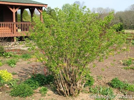 Sambucus nigra 'Aurea' [April 11, 2010]