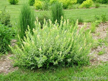 Salix integra 'Hakuro nishiki' [May 28 2010]