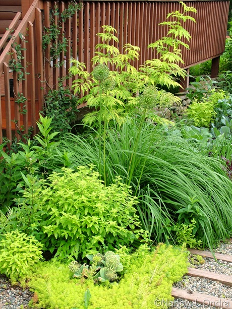 Sambucus racemosa 'Sutherland Gold' with Allium 'Mount Everest', Molinia 'Transparent', Caryopteris incana 'Jason', and Sedum 'Angelina' [June 12 2009]