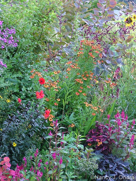 Cotinus 'Grace' behind Sanguisorba tenuifolia and Helenium 'Coppelia' [August 25, 2009]