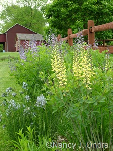 Amsonia hubrichtii with Baptisia 'Carolina Moonlight' [May 11, 2010]