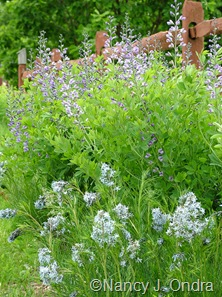 Amsonia hubrichtii with Baptisia 'Purple Smoke' [May 11, 2010]