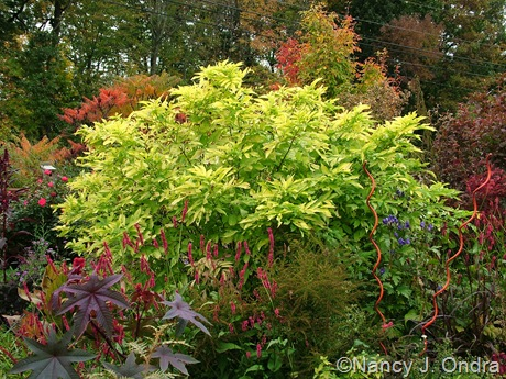 Sambucus nigra 'Aurea' [October 12, 2009]