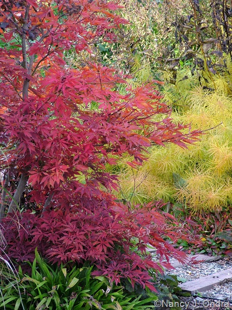 Amsonia hubrichtii with Acer palmatum and Carex plantaginea [October 25, 2009]