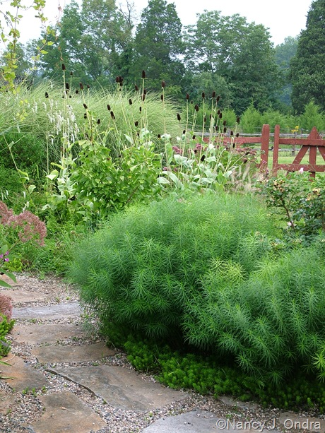 Amsonia hubrichtii with Sedum 'Angelina' and Rudbeckia maxima [August 26, 2009]