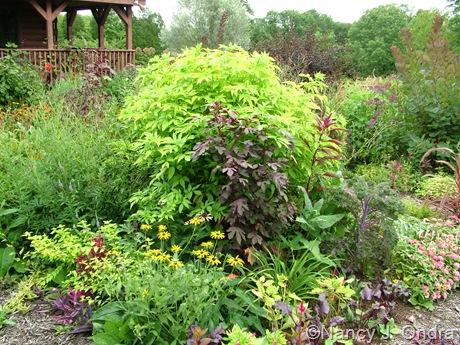 Sambucus nigra 'Aurea' [August 18, 2010]