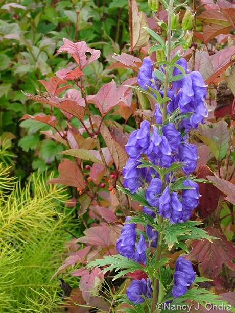 Amsonia hubrichtii with Aconitum carmichaelii and Viburnum trilobum 'Bailey Compact' [October 29, 2005]
